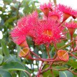 7 amazing health benefits of eucalyptus oil