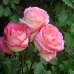 Top 10 Most Pretty Roses In The World