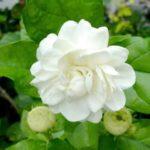 Top 10 Most Beautiful Jasmine Flowers