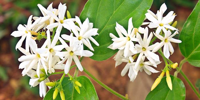 Night Jasmine flower, Jasmine Flower