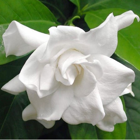 Gardenia Jasminoides 'Miami Supreme, Jasmine Flower