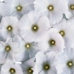 10 Most Loveliest White Flowers In The World