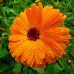 Surprising Health Benefits Of Calendula