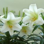 Health And Medicinal Benefits Of White Lily flower