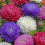 Top 10 Most Beautiful Aster Flowers