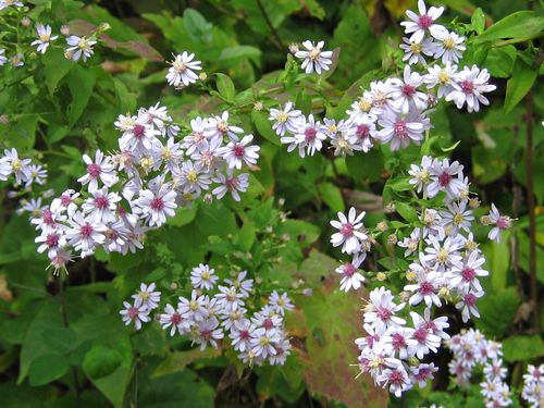 Aster Flowers, Aster flower