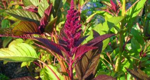 Health Benefits Of Green Amaranth Leaves