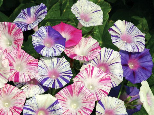 Peaceful Morning Glories, morning glory flower