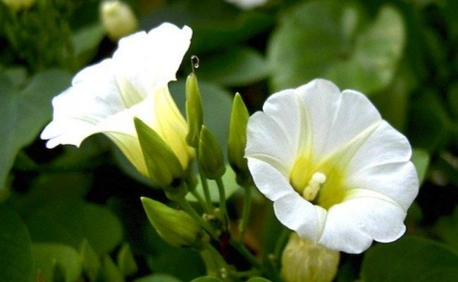 Rivea Corymbosa, morning glory flower