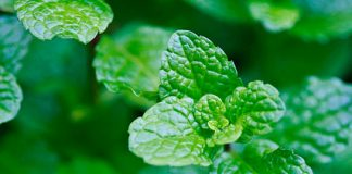 Mint facepacks for soft, glowing, and acne free skin