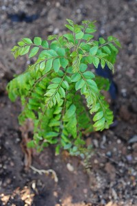 Health benefits by consuming curry leaves or kadi patta