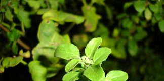 Here are top 10 benefits of basil leaves or tulsi.