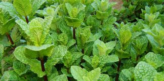 11 wonderful ways pudina or mint keeps you healthy