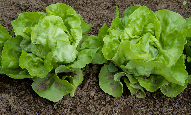 Add lettuce to your diet for 6 healthy reasons