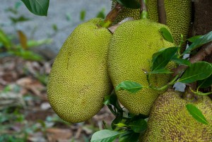 6842931338 a8fc448528 z 300x201 - Top 10 Health Benefits of Jackfruit