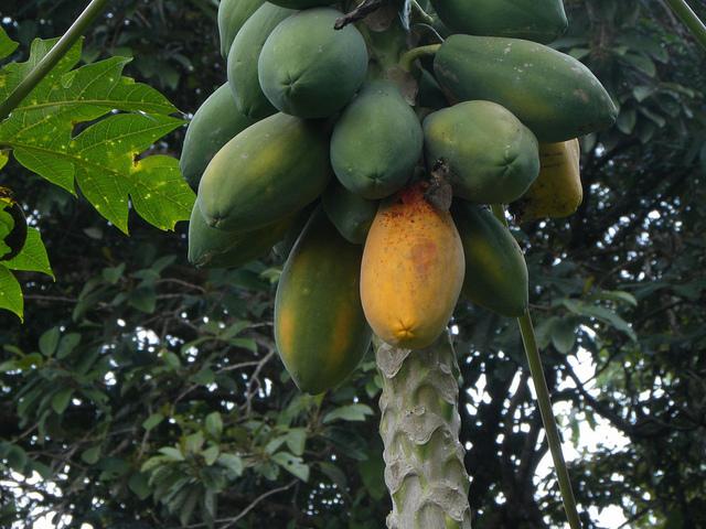 papaya-pepper miracle combo to lose weight