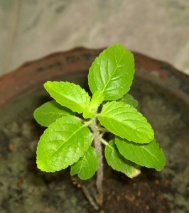 18868667478 4fb5dd82f2 c 266x300 - One Tulsi Leaf A Day for Better Health