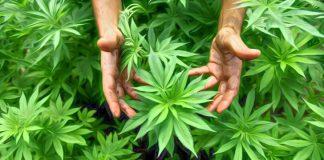 How Cannabis Can Kill Cancer