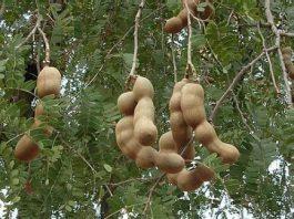 Nutrition Benefits of Tamarind Fruit