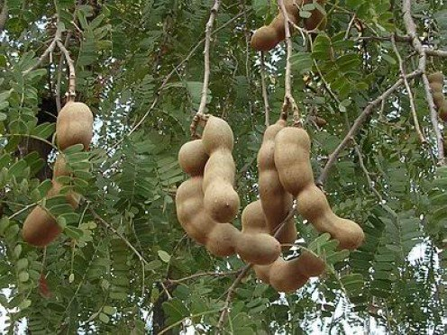 Nutrition Benefits of Tamarind Fruit