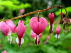Bleeding Heart 300x225 - Pretty and beautiful flowers for you