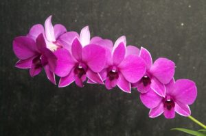 Dendrobium 300x199 - Pretty and beautiful flowers for you
