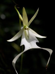 Ghost Orchid 225x300 - Pretty and beautiful flowers for you