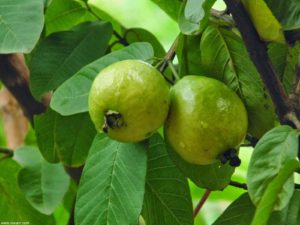 How Are Guava Leaves Beneficial For Your Skin Hair 300x225 - Benefits of Guava leaves for health, skin, and hair