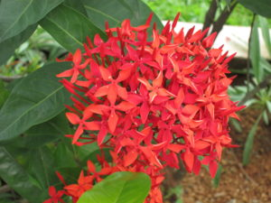 Ixora 300x225 - Pretty and beautiful flowers for you