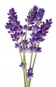 Lavender 194x300 - Pretty and beautiful flowers for you