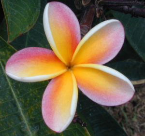 Plumeria 300x282 - Pretty and beautiful flowers for you