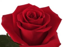Why rose is the most famous flower?