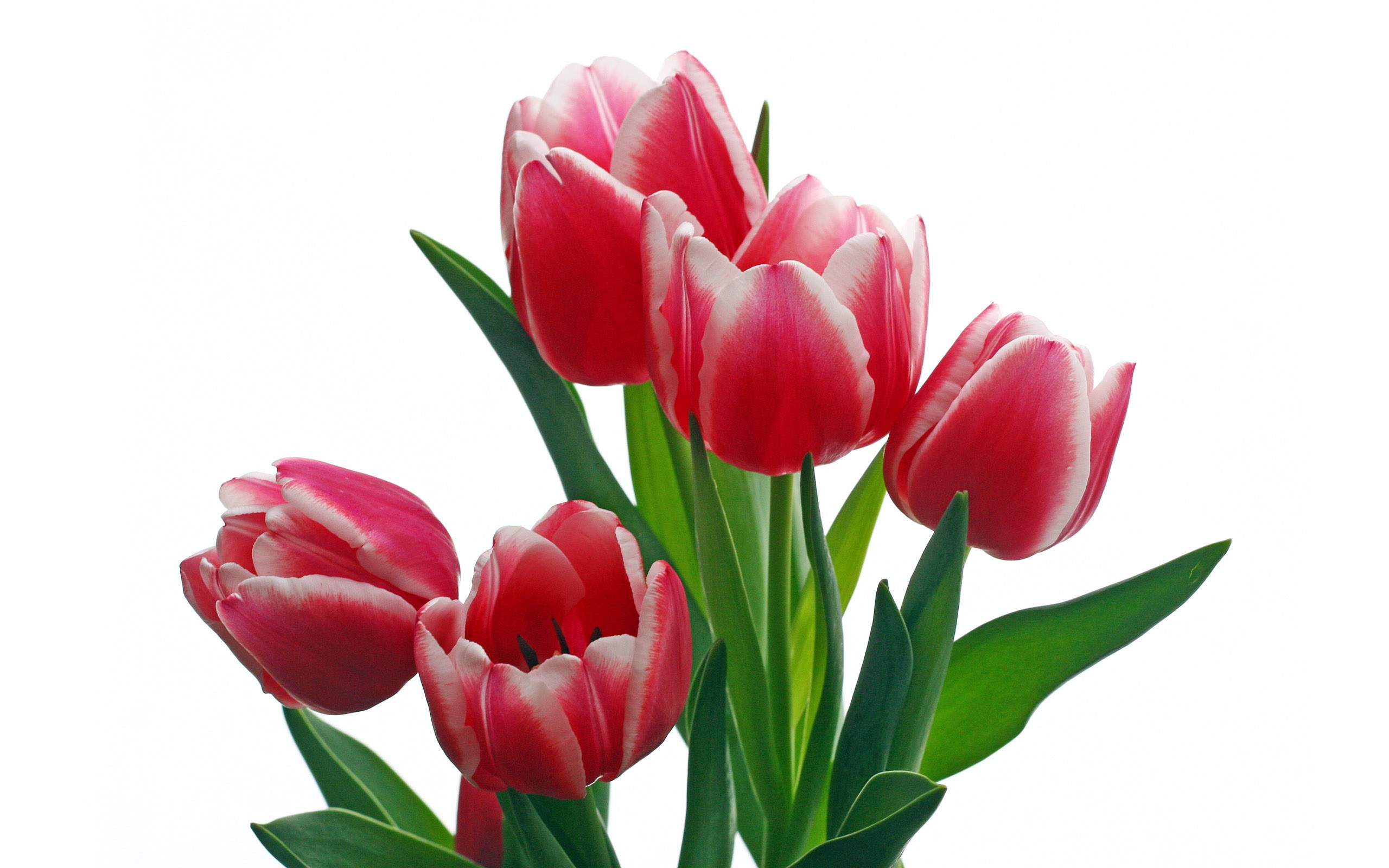 Tulip - Why rose is the most famous flower?