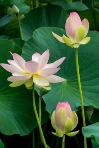 Water Lily 201x300 - Pretty and beautiful flowers for you