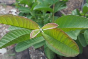 Benefits of Guava leaves for health