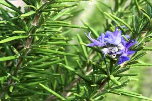Health Benefits Of Rosemary