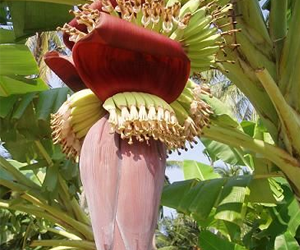 Health Benefits of Banana Flower 300x250 - Health benefits of banana flower