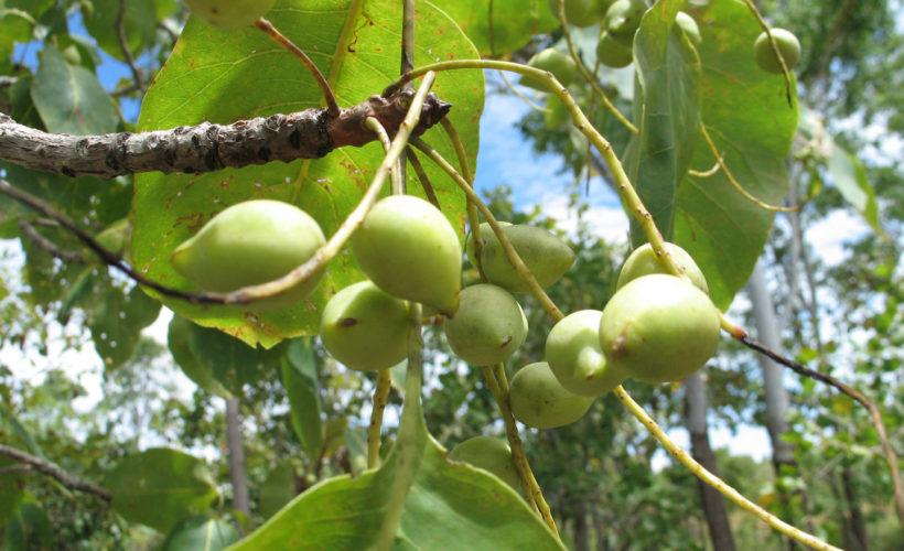Kakadu Plums Health Benefits