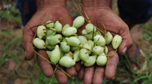 Kakadu Plum 300x165 - The Best of Kakadu Plums Health Benefits