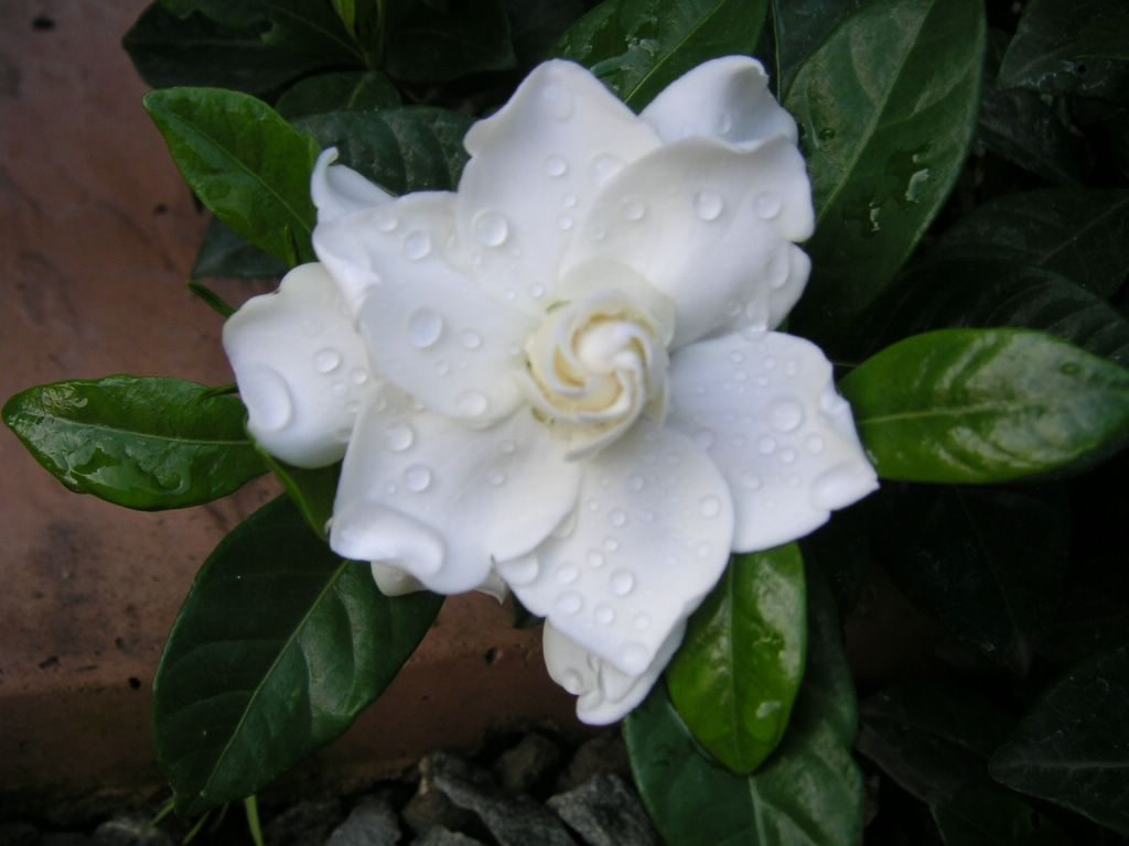 10 15 2005 p1 new gardenia mystery blossom 1024x768 - Top 10 Most Beautiful Jasmine Flowers