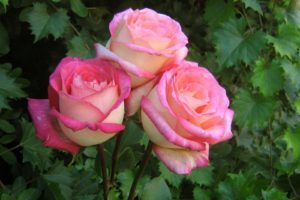 Most Pretty Roses In The World