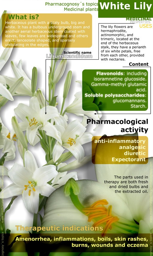 Health And Medicinal Benefits Of White Lily, white lily flower