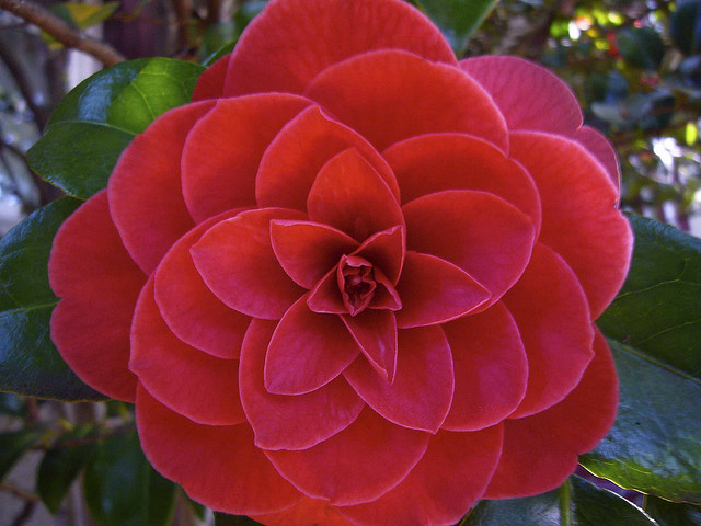 1f8e2dbe522179c7a57969c62345aa19 - Top 10 Most Beautiful Camellia Flowers In The World