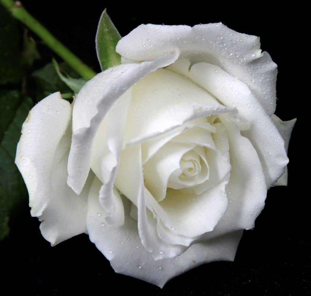 253bc4ce099be1fd443033495cb20f07 1024x974 - 10 Most Loveliest White Flowers In The World