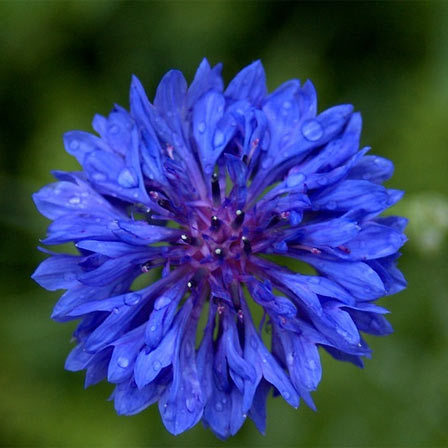 Bachelor Button Flower - 10 Most Beautiful Blue Flowers In The World