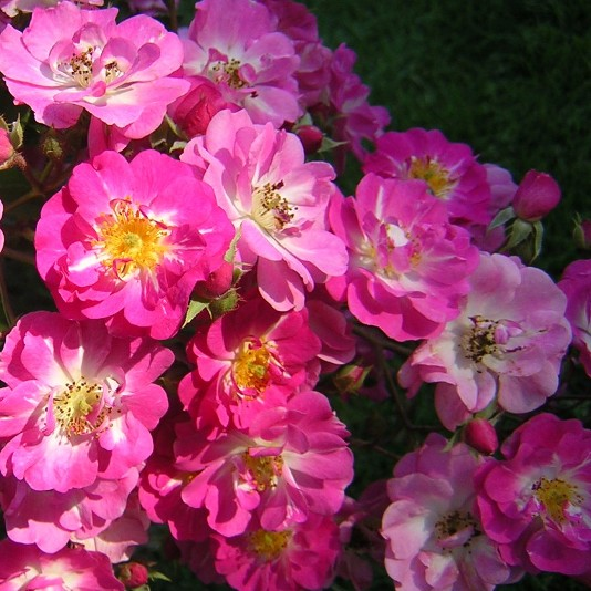 Belinda Musk Rose - Top 10 Most Pretty Roses In The World