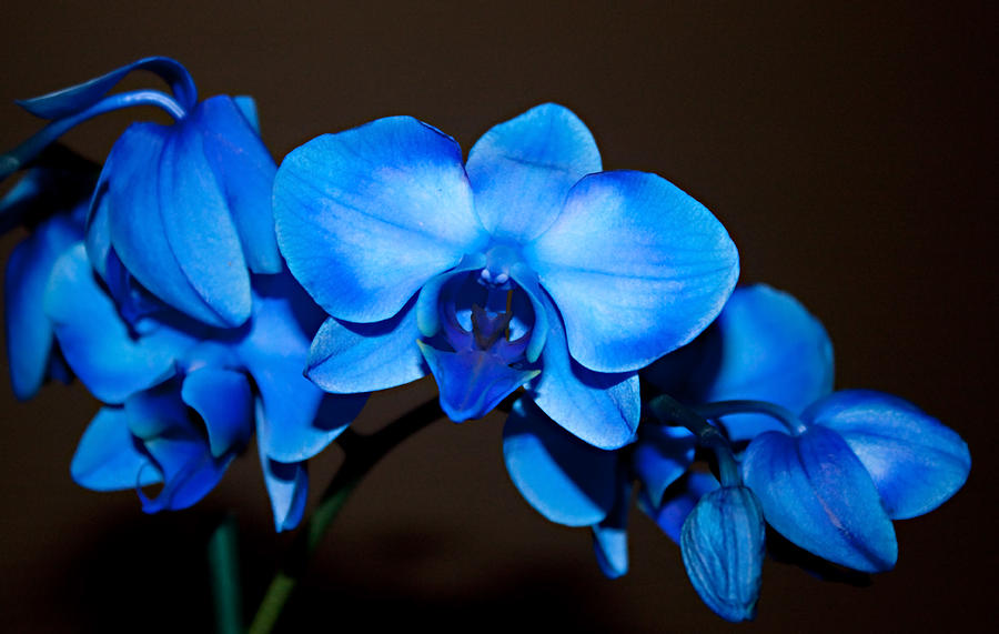 Blue Orchid 11 - 10 Most Beautiful Blue Flowers In The World