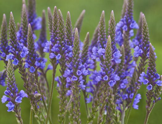 Blue Vervain 525x400 - Amazing Health Benefits of Blue Vervain