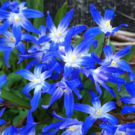 Bluestar - 10 Most Beautiful Blue Flowers In The World