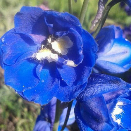 Delphinium - 10 Most Beautiful Blue Flowers In The World